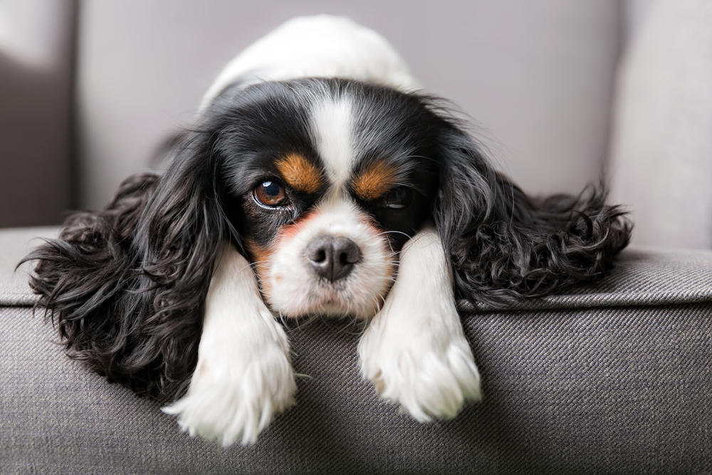 Dog breed cavalier king charles spaniel caloundra pet resort the king of lap dogs todays cavalier king charles spaniel or cavie has a long history the original cavies were developed from the toy spaniels of the altavistaventures Images