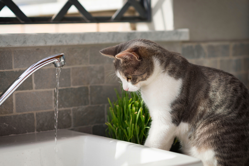 c826c7f83a My cat likes to play with water – Caloundra Pet Resort